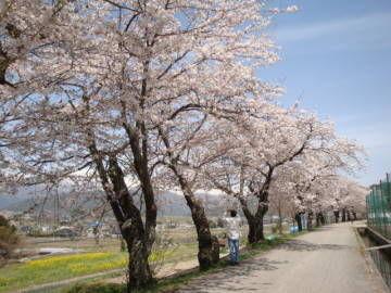 観光道路の桜並木