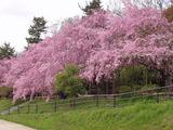 半木の道紅枝垂れ桜