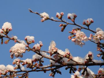 桜の花の枝先と雪
