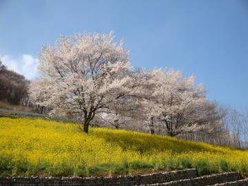 陸郷の桜2