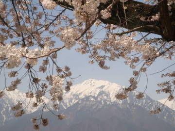 蓮華岳と観光道路の桜