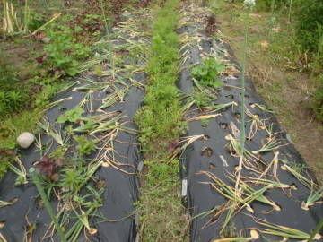 玉ねぎの収穫2
