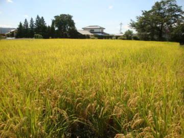 稲刈り 2012秋