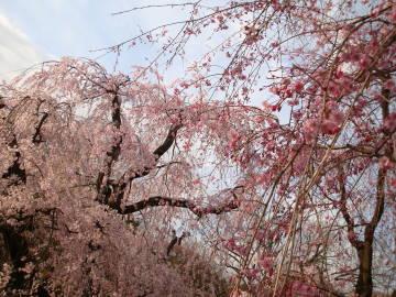 京都府立植物園の枝垂れ桜