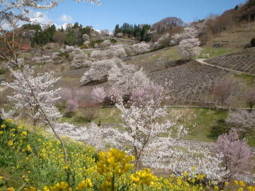 陸郷の桜1
