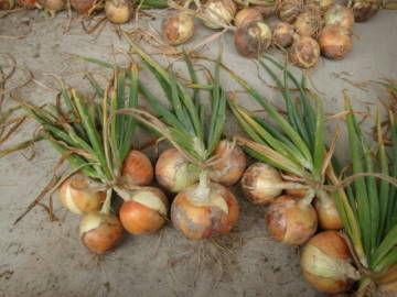 玉ねぎの収穫4