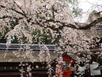 平野神社の枝垂れ桜