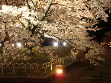 京都府立植物園の夜桜1