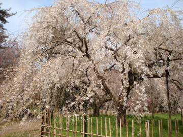 京都御苑の桜3