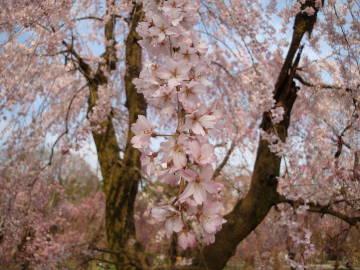 京都府立植物園の桜2