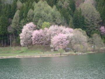 中綱湖 オオヤマザクラ3