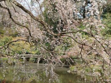 京都御苑の桜1