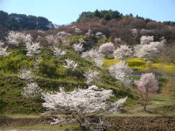 陸郷の桜3