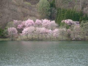 中綱湖 オオヤマザクラ2