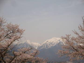 大町公園の桜と蓮華岳