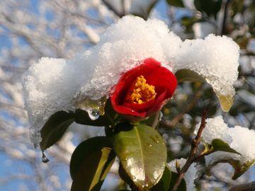 椿の花と雪