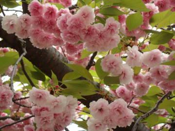 大阪造幣局の桜2