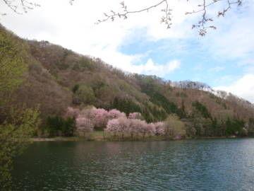 中綱湖 オオヤマザクラ1