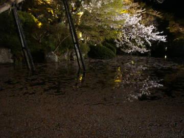 清水寺の池と桜の花びら