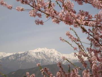 爺ヶ岳と観光道路の桜