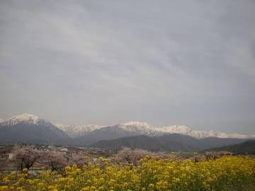 東山の桜並木と菜の花