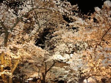 京都府立植物園の夜桜2