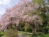 sakuranakaragi3