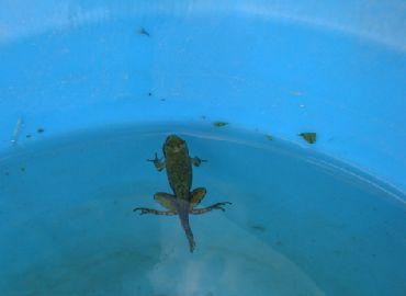 カエルのしっぽ