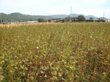 休耕田のそば畑