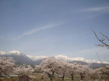 観光道路の桜並木と北アルプス