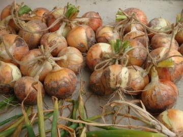 玉ねぎの収穫5