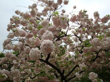 大阪造幣局の桜4