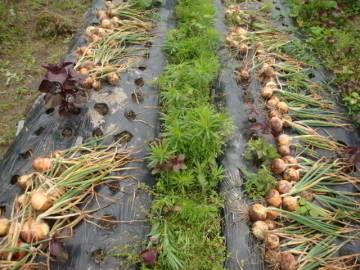 玉ねぎの収穫3