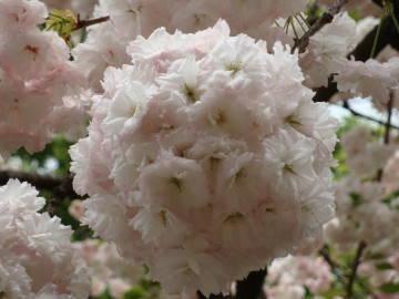 大阪造幣局の桜3