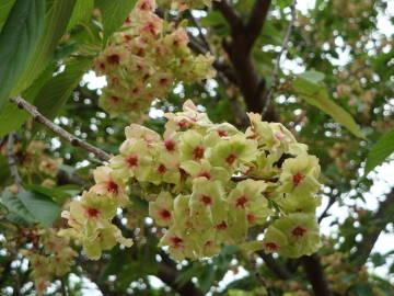大阪造幣局の桜5