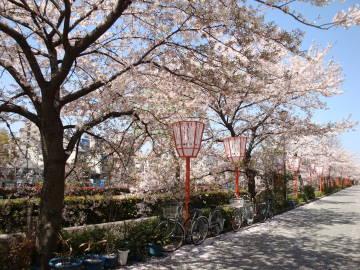 宮川町川端の桜