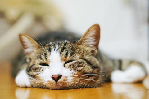 とろける猫