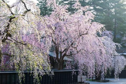 角館しだれ桜