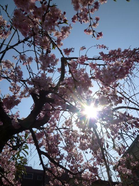 sakura (480x640)
