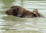 Flood 2011 - Dog rescuing monkey