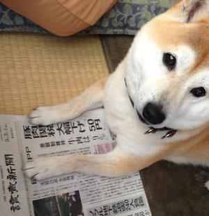 柴犬が新聞を