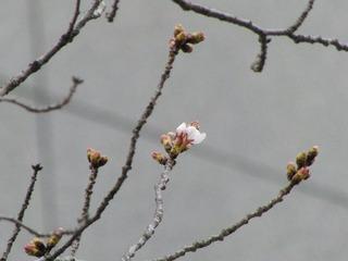 4_sakura