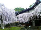氷室神社桜�