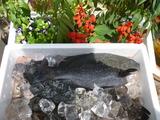 7月4日釣り魚チヌ