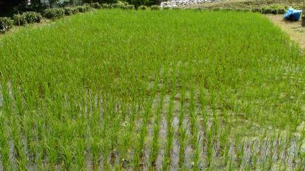 香樂園の水田