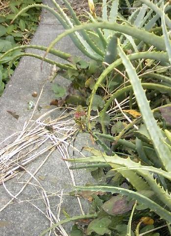 小松農園のクモ