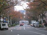 中野通りの桜並木[061126]