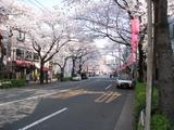 中野通り桜【満開】(080328北方面)