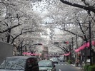 中野通り桜まつり2013.(3.24)松が丘北