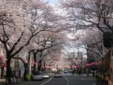 中野通り桜(080327北方面)